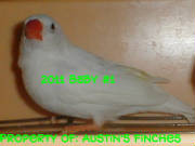 2011zebrafinch1.jpg