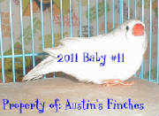 2011zebrafinch11.jpg