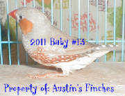 2011zebrafinch13.jpg