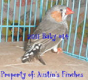 2011zebrafinch14.jpg