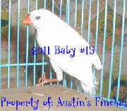 2011zebrafinch15.jpg