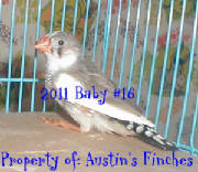 2011zebrafinch16.jpg