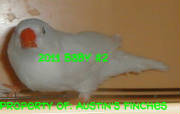 2011zebrafinch2.jpg